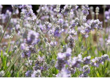 Lavandula Melsa Lilac 3