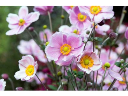 Anemone Pink Saucer 1