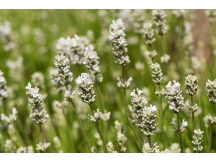 white Fragrance 2