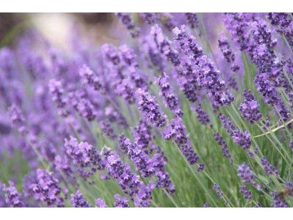 Hidcote Purple 2