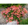 Delosperma Fire Spiner 3