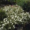 Helianthemum the Birde 3