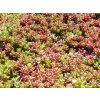 Sedum Coral Carpet 1