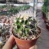 Echinocactus Grusonni 2