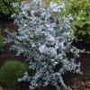 eucalyptus gunnii 3
