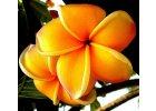 Semena plumerie