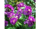 Semena okrasných popínavých květin