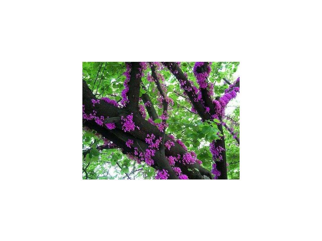 ZMARLIKA ČÍNSKÁ-cercis chinensis /10 SEMEN/
