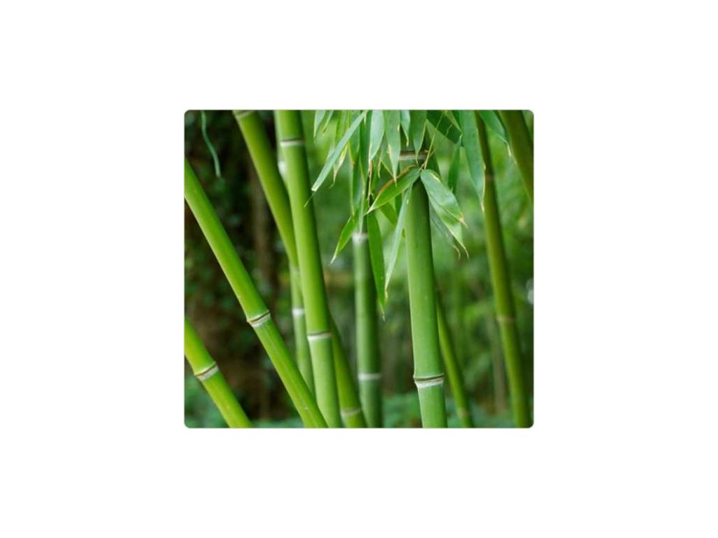 Bambus-Phyllostachys Pubescens /10 SEMEN/