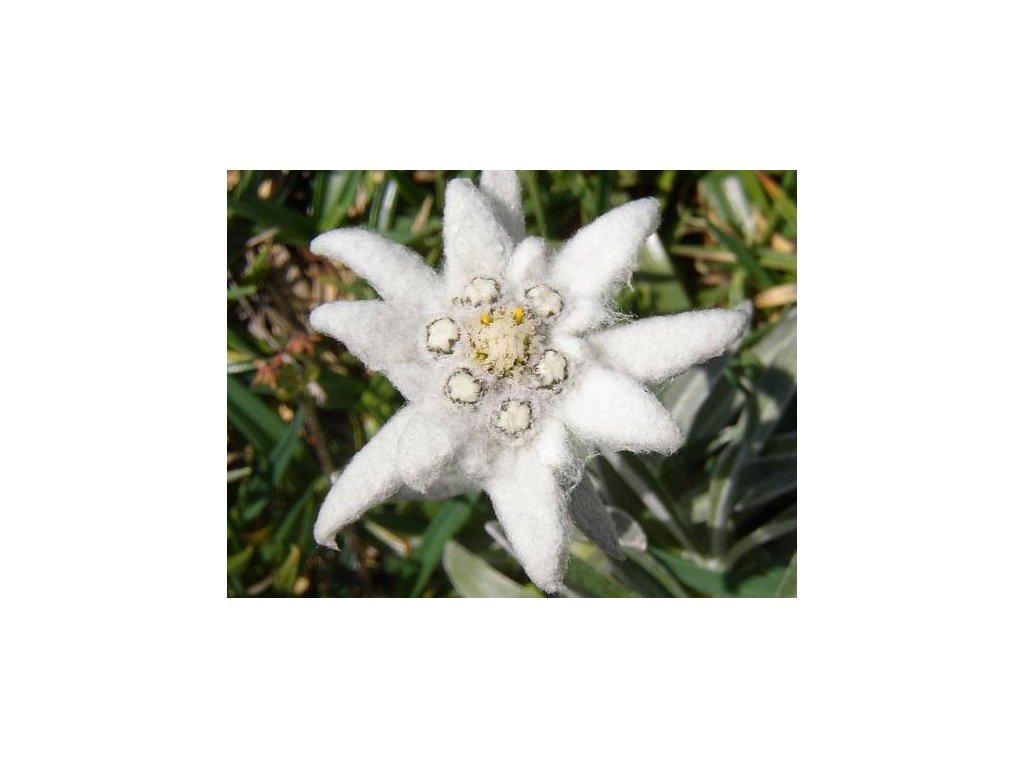 PROTĚŽ ALPSKÁ-Leontopodium Alpinum /500 semen/