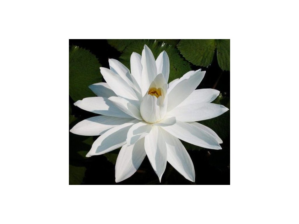 LEKNÍN BÍLÝ NYMPHAEA WHITE NIGHT /10 SEMEN/ - Nymphaea Juno