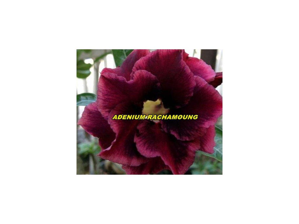 ADENIUM OBESUM RACHAMOUNG /5 semen/