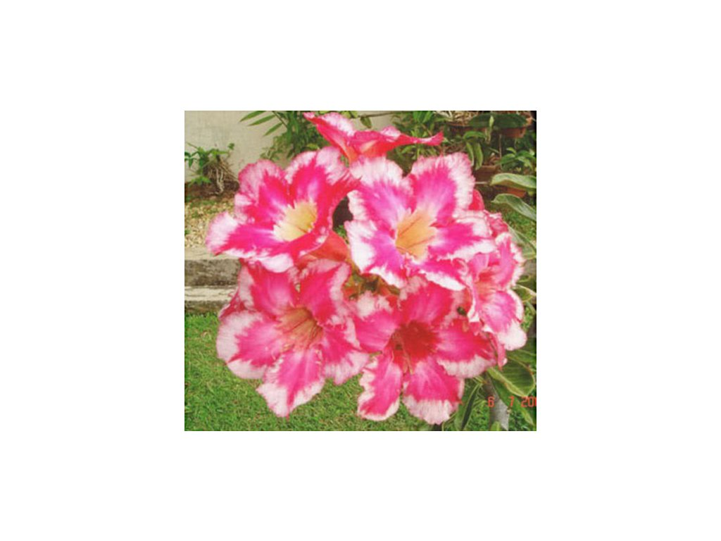 ADENIUM OBESUM FIRE OF LOVE /5 semen/