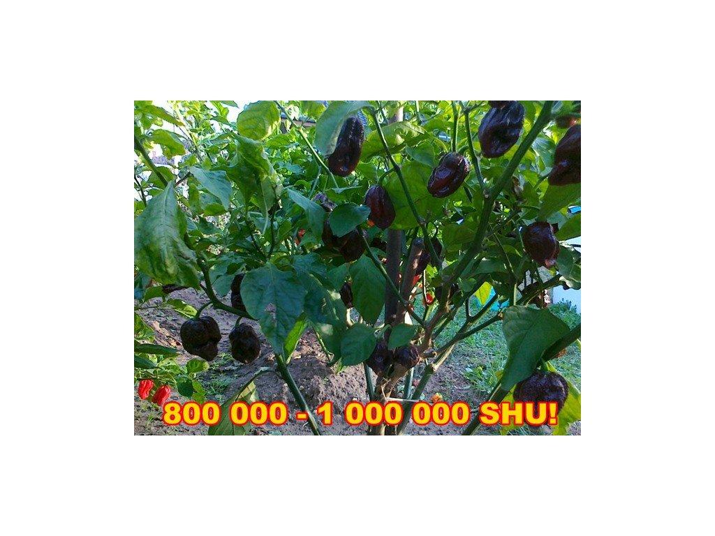CHILLI papričky  Trinidad 7 POT DOUGLAH /5 semen/