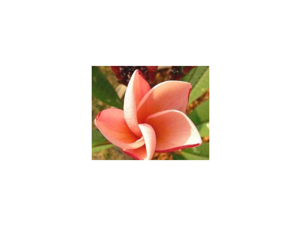 PLUMERIA RUBRA SALMON PINK /5 SEMEN/