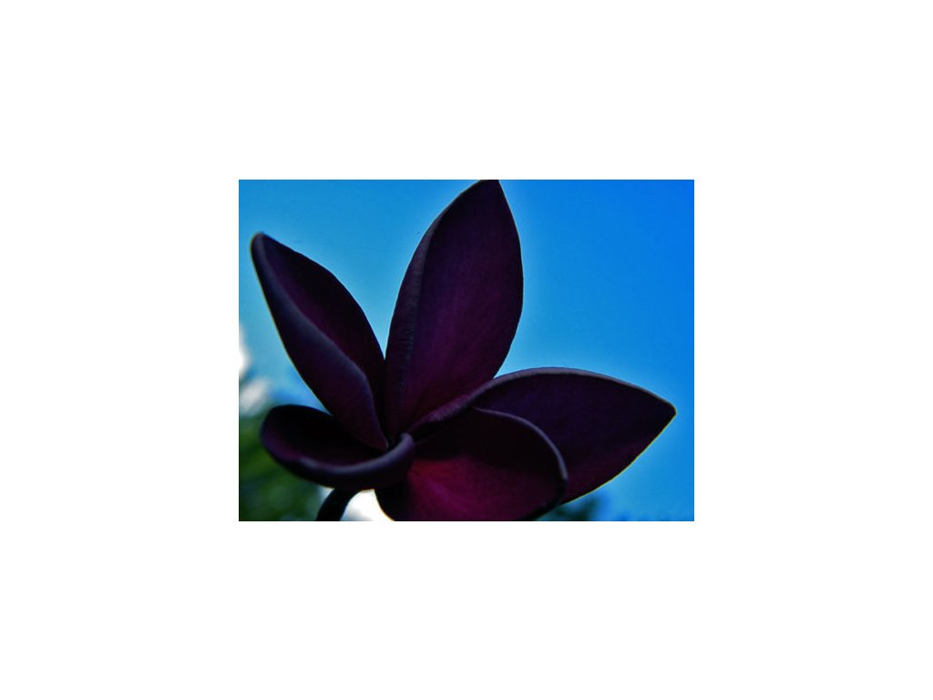 PLUMERIA RUBRA BLACK WINDOW /5 SEMEN/