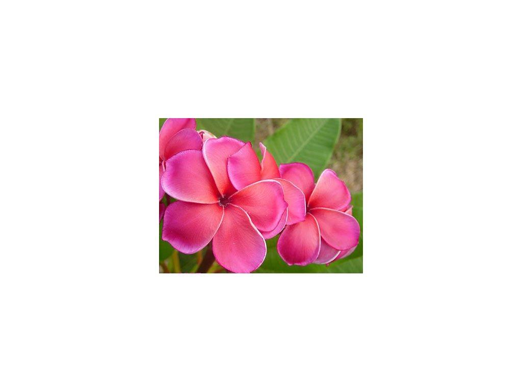 PLUMERIA RUBRA SEXY PINK /5 SEMEN/