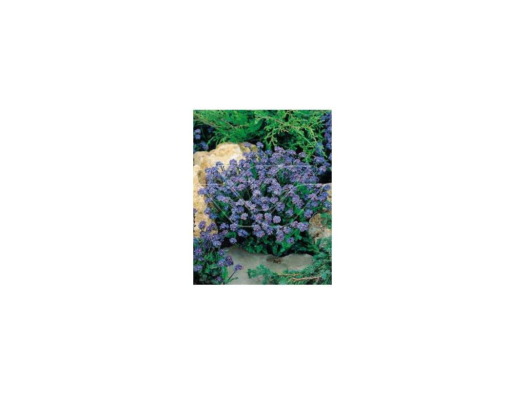 POMNĚNKA BLANKYTNÁ- Myosotis sylvatica/600 semen/