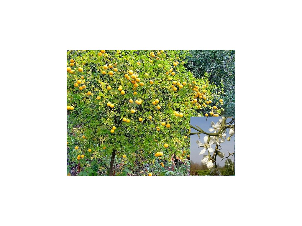 Citronečník trojlistý - Poncirus Trifoliata /5 SEMEN /