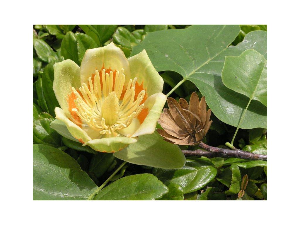 Liliovník tulipánokvětý - Liriodendron Tulipifera /5 semen/