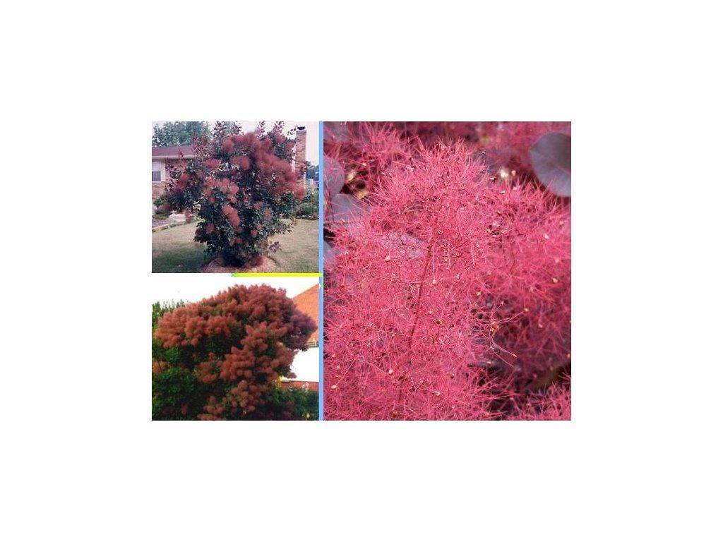 RŮJ VLASATÁ RŮŽOVÁ- Cotinus coggygria pink  /10 SEMEN/