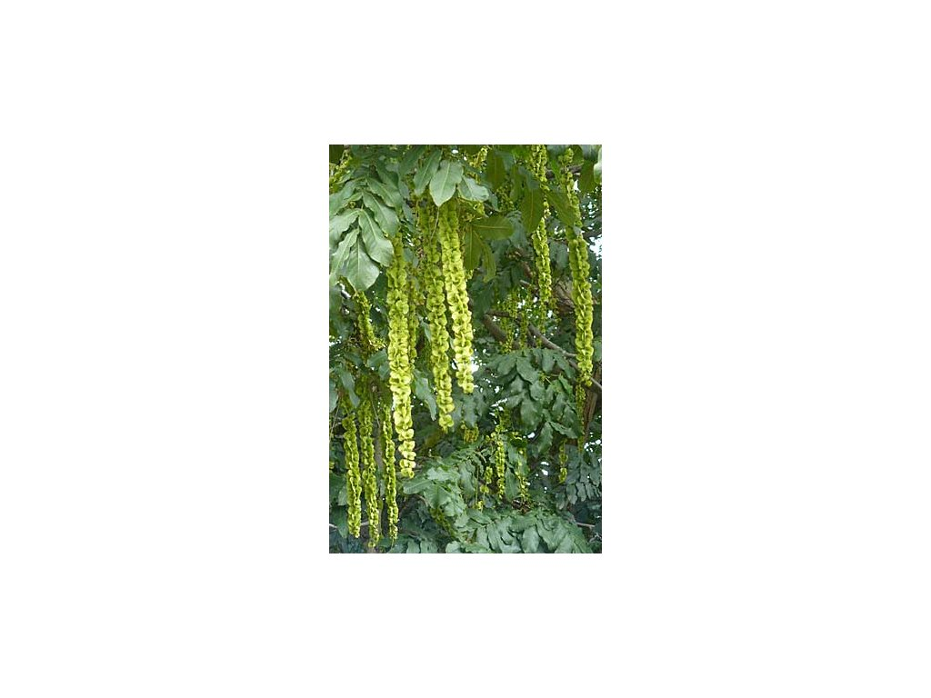 PAOŘECH JASANOLISTÝ - Pterocarya Fraxinifolia /10 semen/