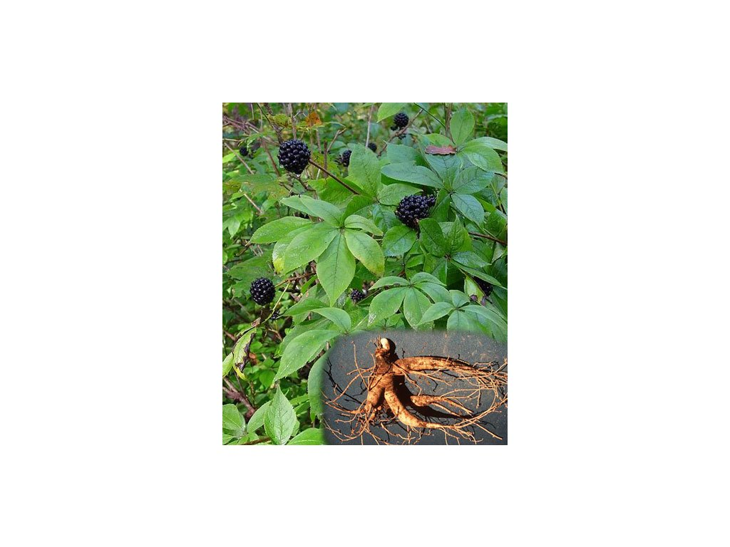 "Eleuterokok ostnitý""Sibiřský ženšen""-Acanthopanax Senticosus / 20 semen/"