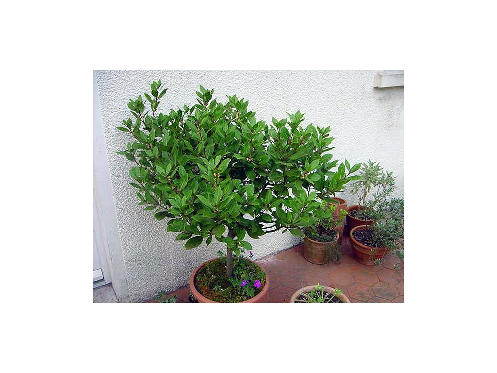 VAVŘÍN VZNEŠENÝ BOBKOVÝ LIST- Laurus nobilis /2 SEMENA/