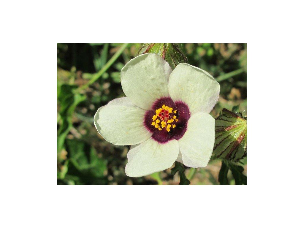 IBÍŠEK SIMPLY LOVE-(Hibiscus tronium /20 SEMEN /