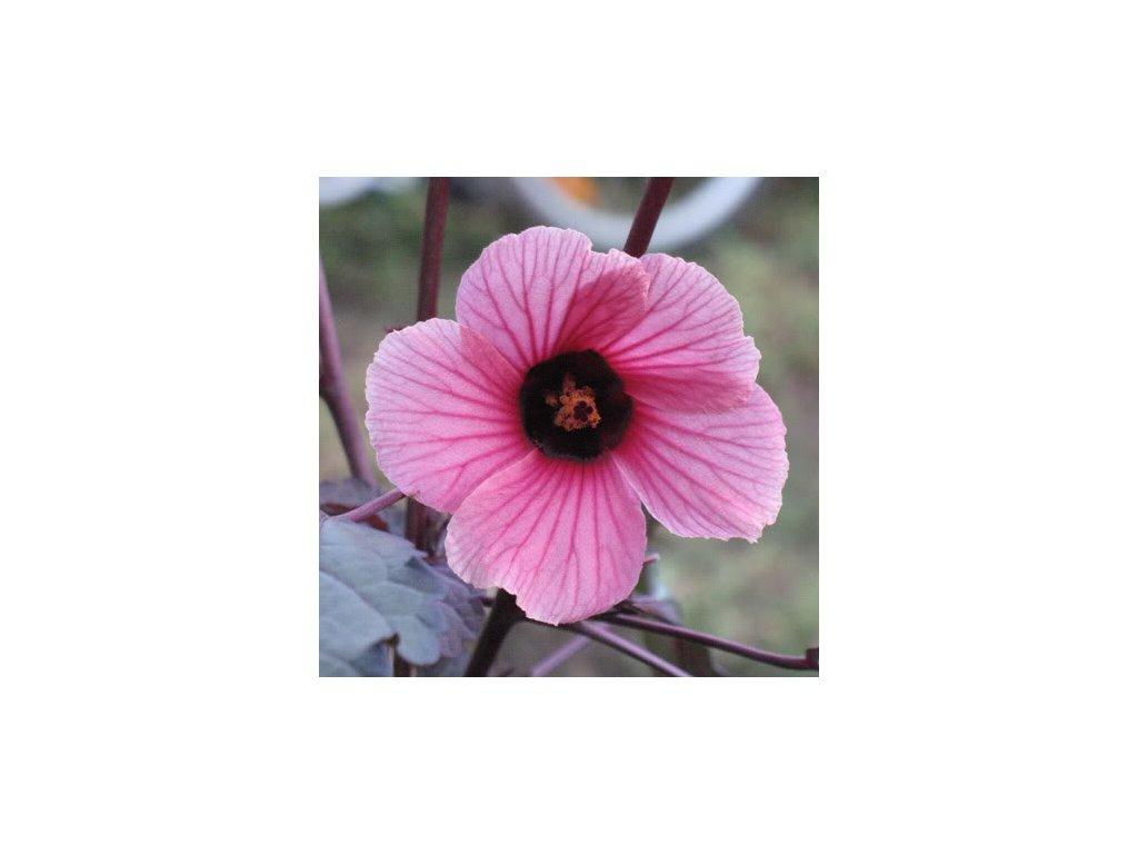 IBÍŠEK ACETOSELLA RED SHIELD-Hibiscus acetosella/10 SEMEN/