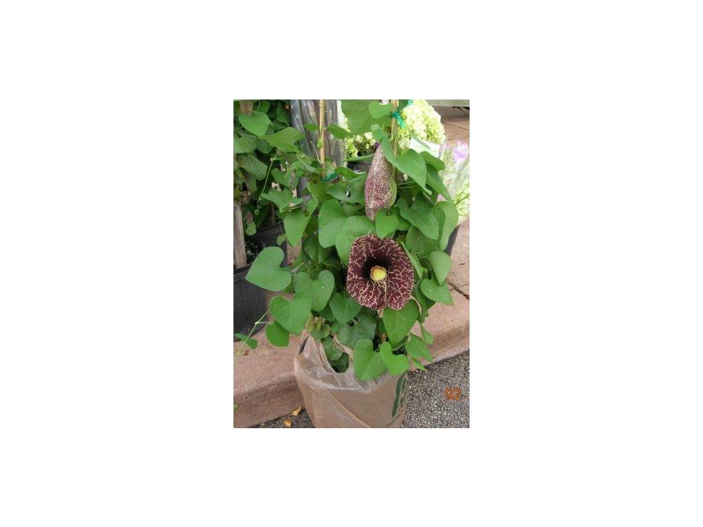 podražec velkokvětý - Aristolochia gigantea  /5 SEMEN/
