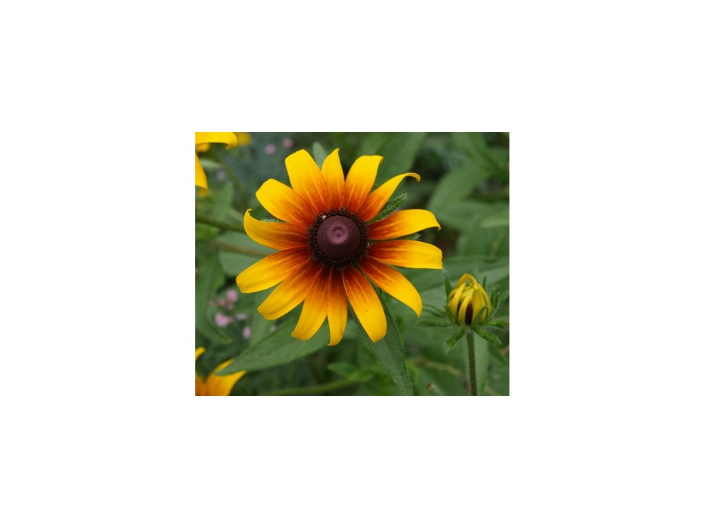 TŘAPATKA DVOUBAREVNÁ-Echinacea hirta (syn. Rudbeckia hirta)/600semen/