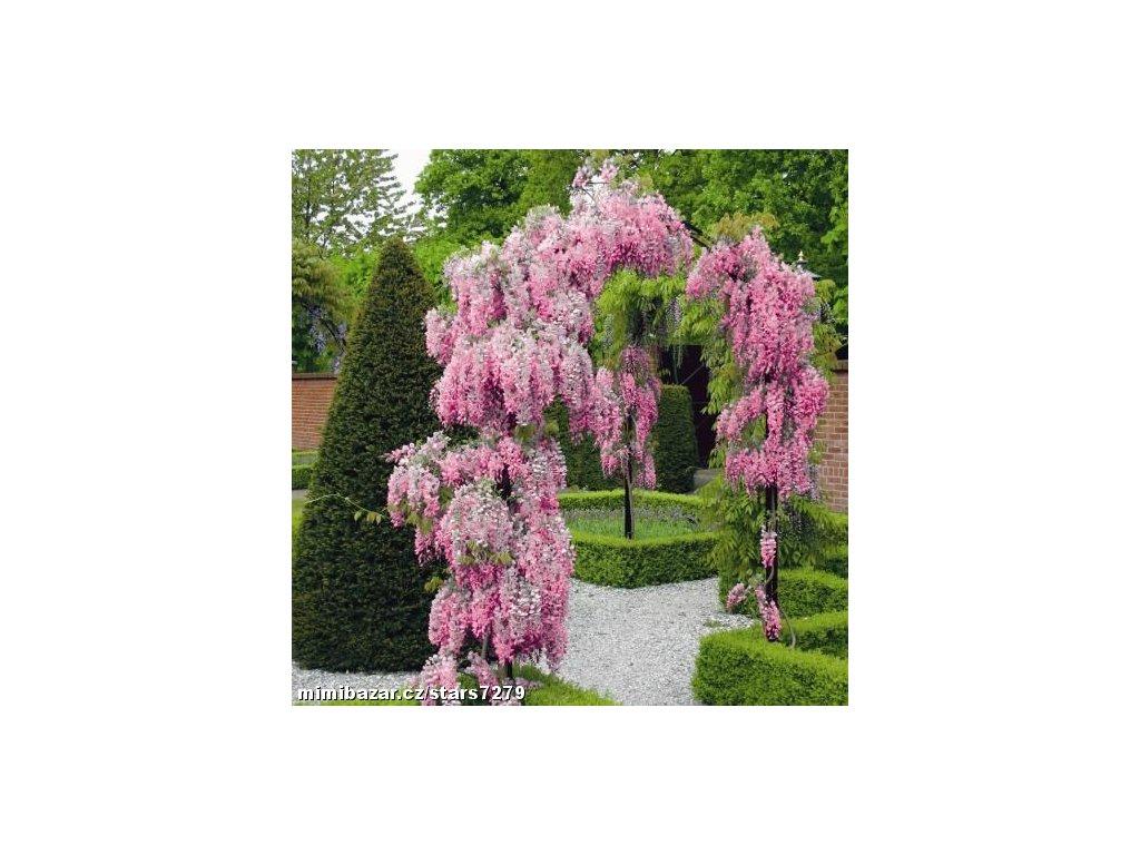 Vistárie čínská RŮŽOVÁ- Wisteria floribunda rosea /3 SEMENA/