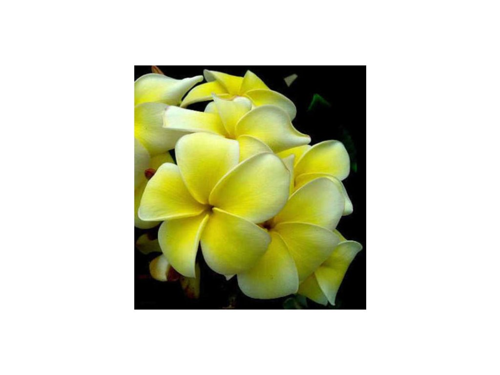 plumeria Yellow Jazz