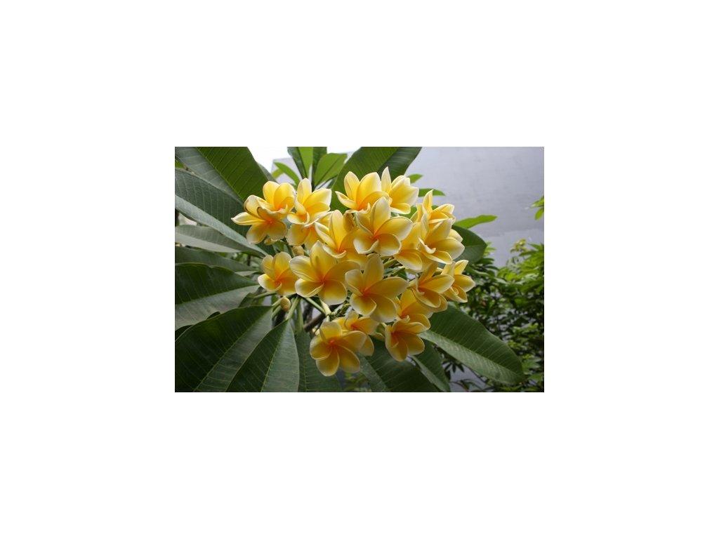 plumeria Bali Hai Gold1