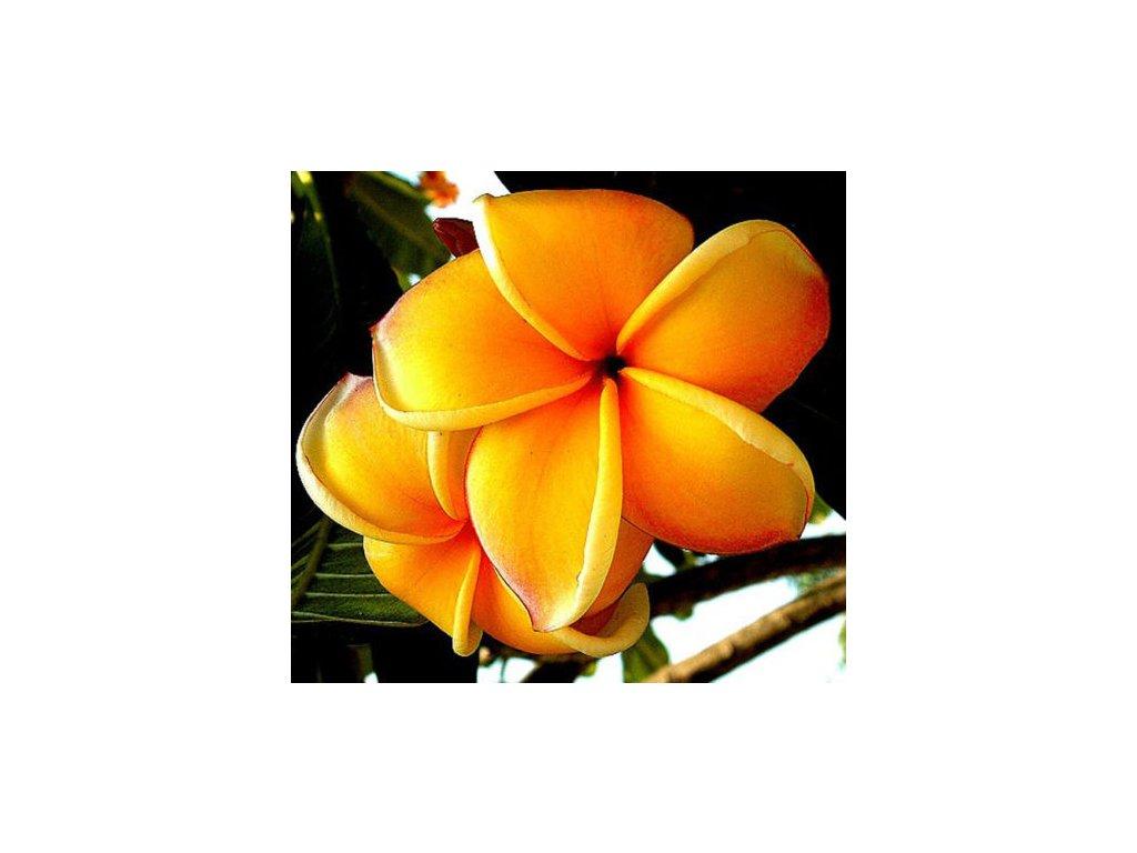 plumeria mango