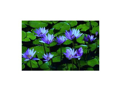 LEKNÍN MODRÝ NYMPHAEA BLUE /10 SEMEN/ - Nymphaea Caerulea