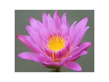 LEKNÍN RŮŽOVÝ NYMPHAEA PINK DAY /10 SEMEN/ - Nymphaea Capensis