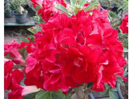 ADENIUM OBESUM STRAWBERRY /5 semen/