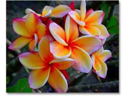 PLUMERIA RUBRA BEAUTYFUL ORANGE /5 SEMEN/