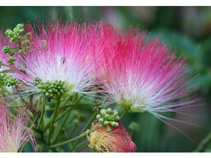 Albízie růžová - ALBIZIA JULIBRISSIN /5 semen/