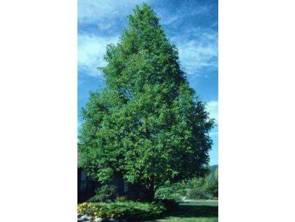 Metasekvoje čínská -Metasequoia Glyptostroboides /10 SEMEN/