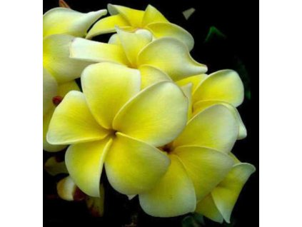 plumeria Yellow Jazz