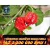 chilli papričky HP22B Carolina reaper /5semen/