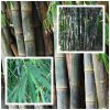 bambus zelezny