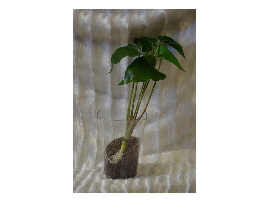 CERINO Umělá květina toulitka s kořenem 42cm