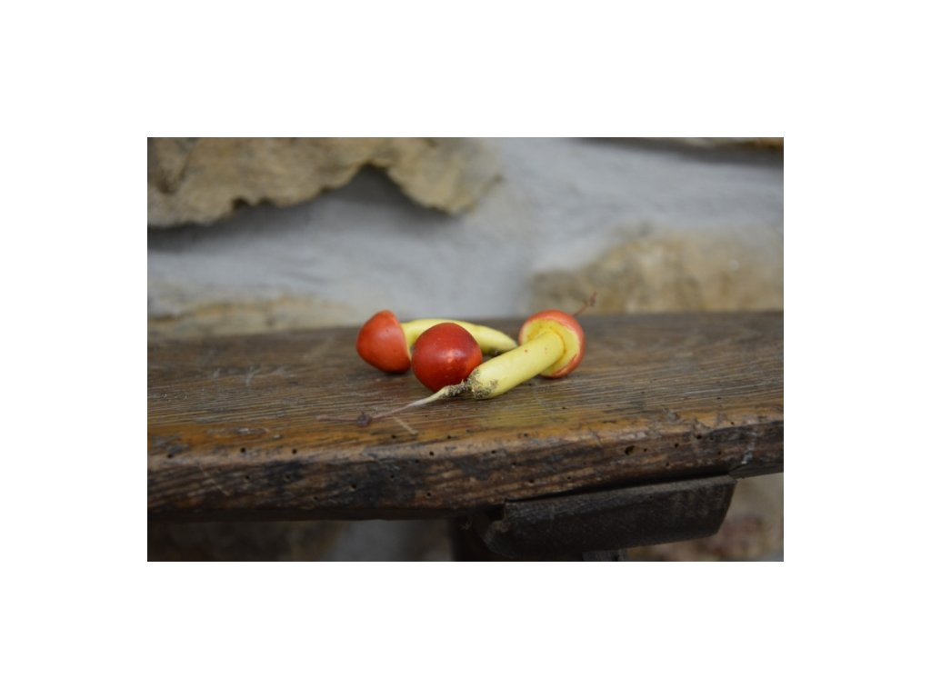 CERINO Umělá houba Muchomůrka císařská 6cm