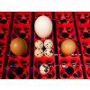 Automatická líheň na vejce LUMIA 8 EXPERT obr9