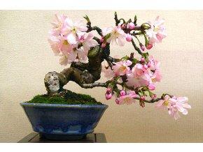Bonsai třešeň 10 ks semen