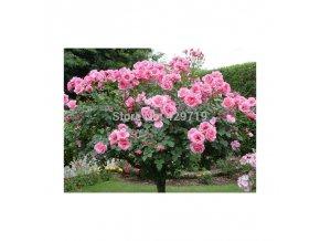 Keříková růže 100 ks semen